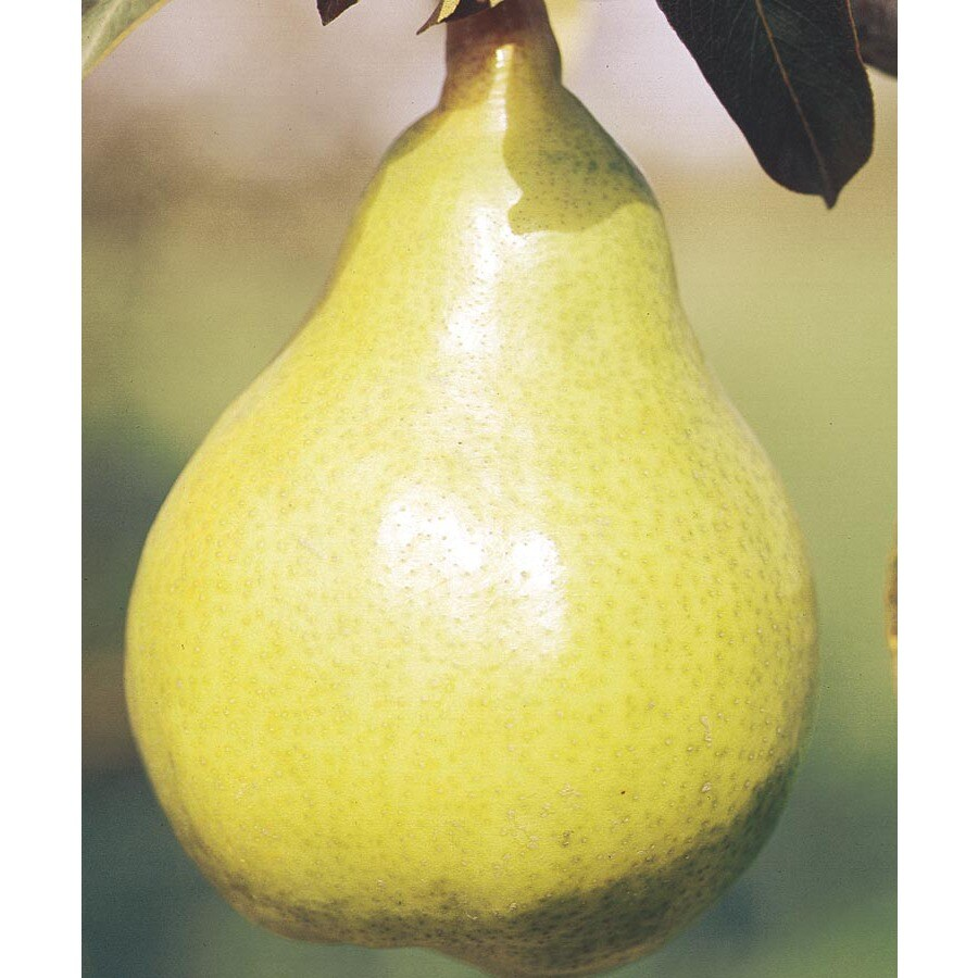 3.58-Gallon Dwarf Kieffer Pear Tree (L1388)