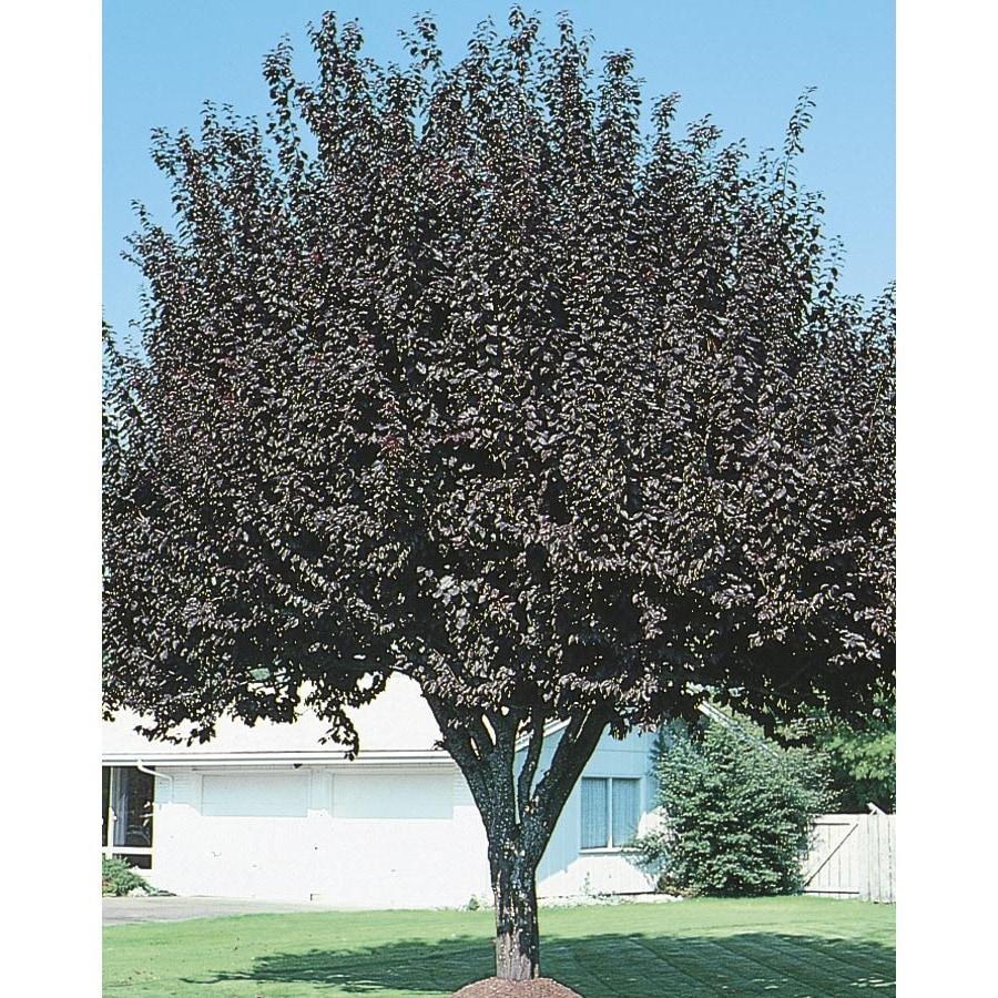 6-Gallon Newport Plum Flowering Tree (L1011)