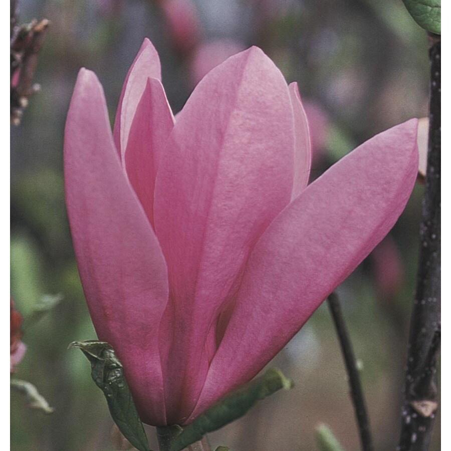 6-Gallon Jane Magnolia Flowering Tree (L1160)