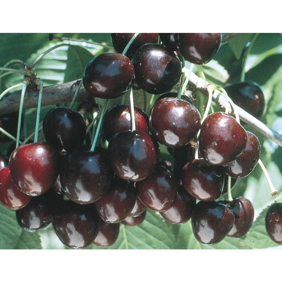 3.58-Gallon Supersweet Cherry Tree (L24796)