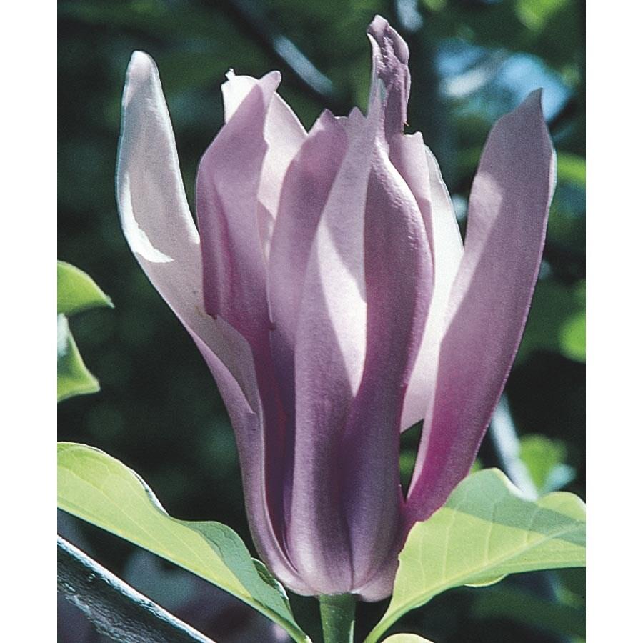 3.63-Gallon Ann Magnolia Flowering Tree (L4757)