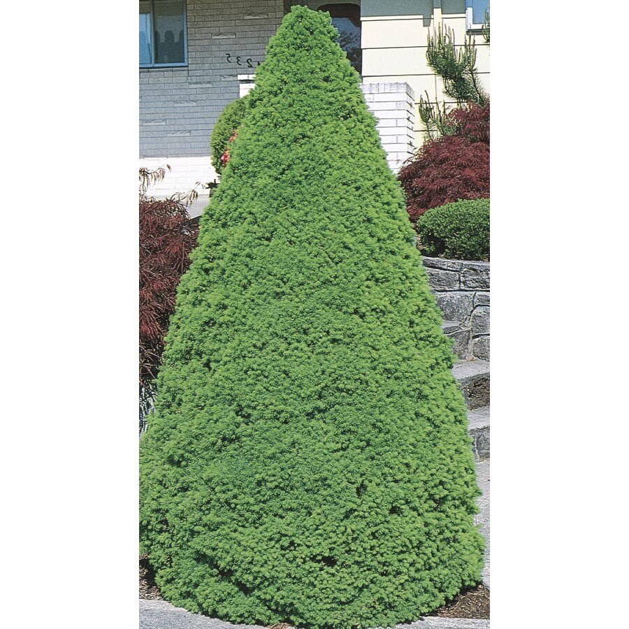 5.7-Gallon Dwarf Alberta Spruce Feature Shrub (L8449)