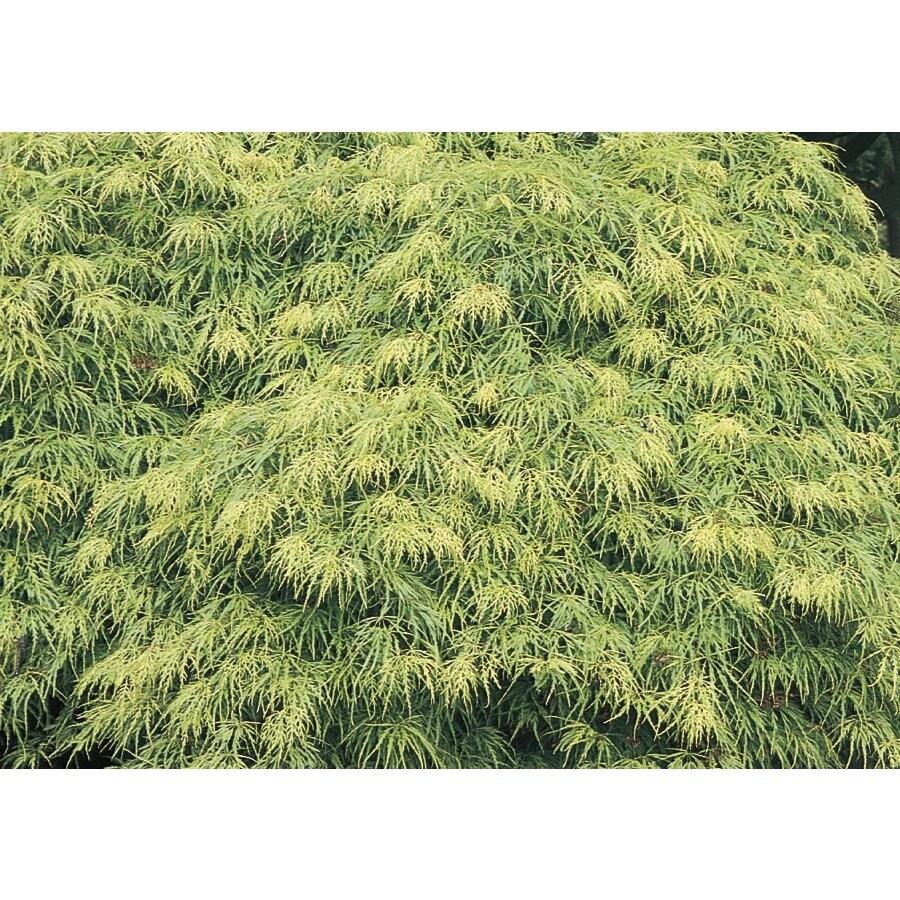 12.68-Gallon Laceleaf Japanese Maple Feature Tree (L11472)