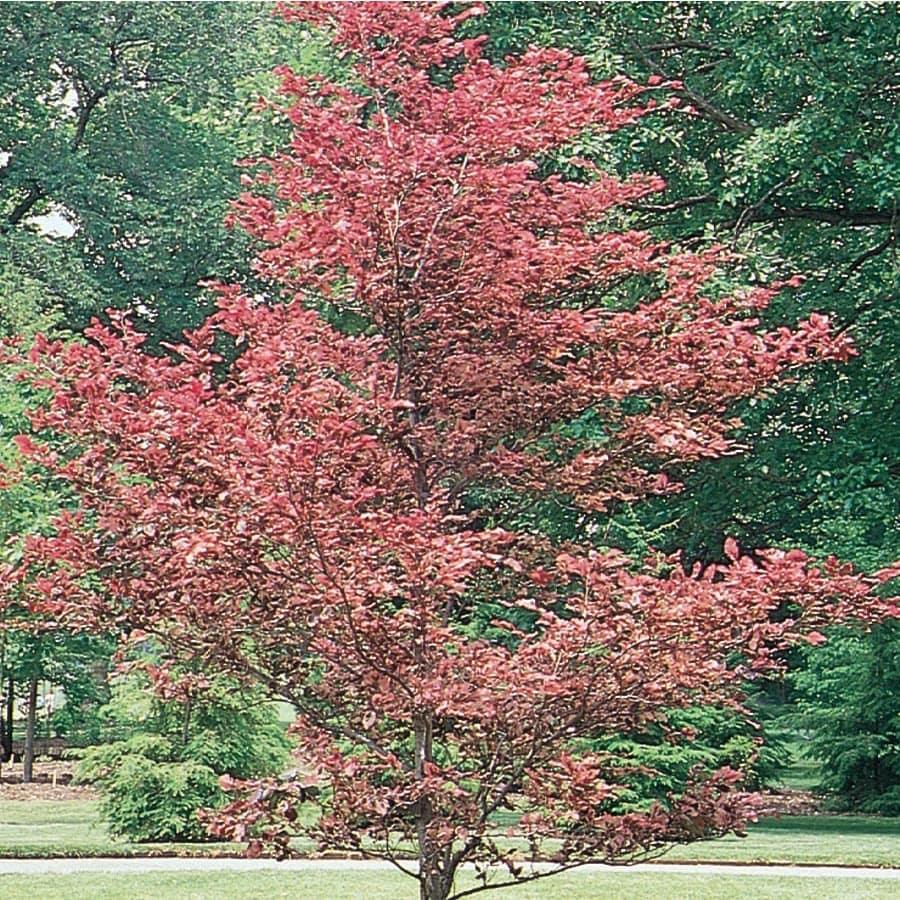 10.25-Gallon Tricolor Beech Feature Tree (L7232)
