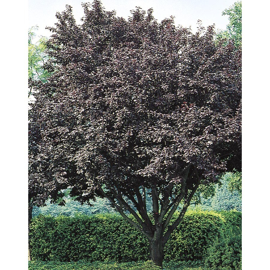 3.74-Gallon Flowering Plum Flowering Tree (L5986)