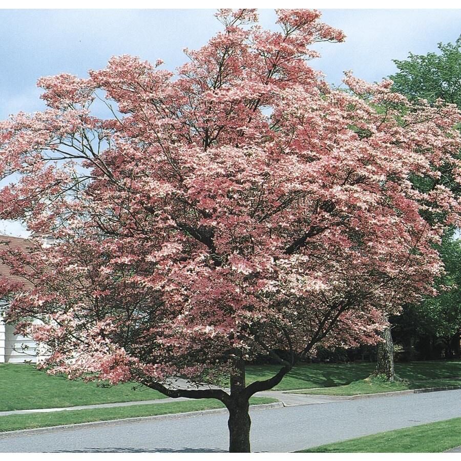 3.74-Gallon Pink Flowering Dogwood Flowering Tree (L3181)
