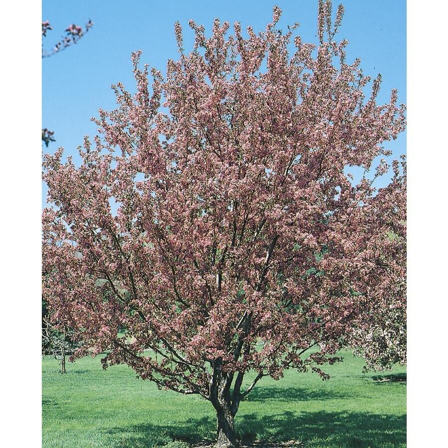 13.35-Gallon Flowering Crabapple Flowering Tree (L5985)