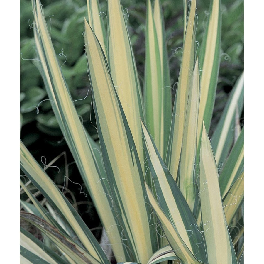 1-Gallon White Color Guard Yucca Feature Shrub (L2623)