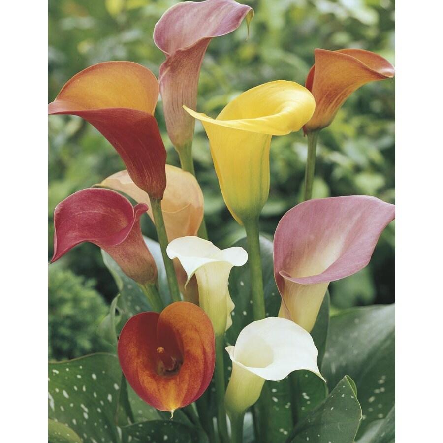 1.5-Quart Mixed Calla Lily (Lw00678)