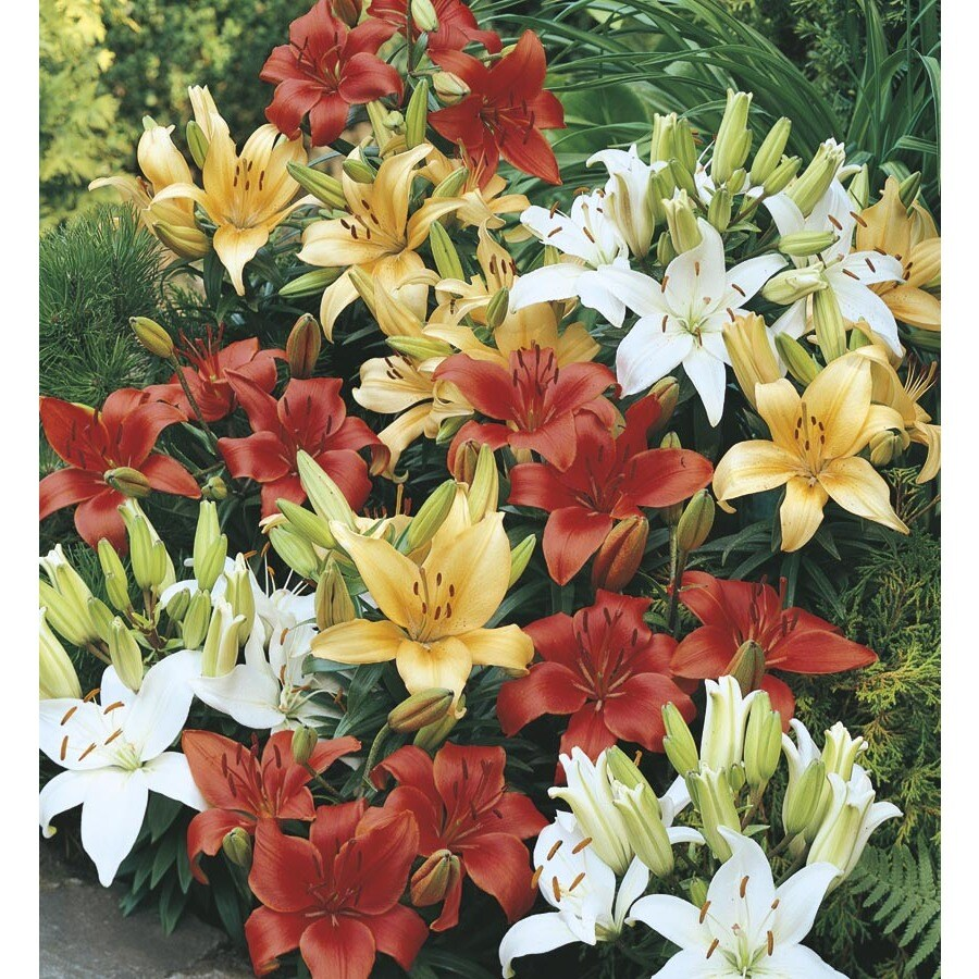 3.5-Gallon Container Asiatic Lily (Lw01857)