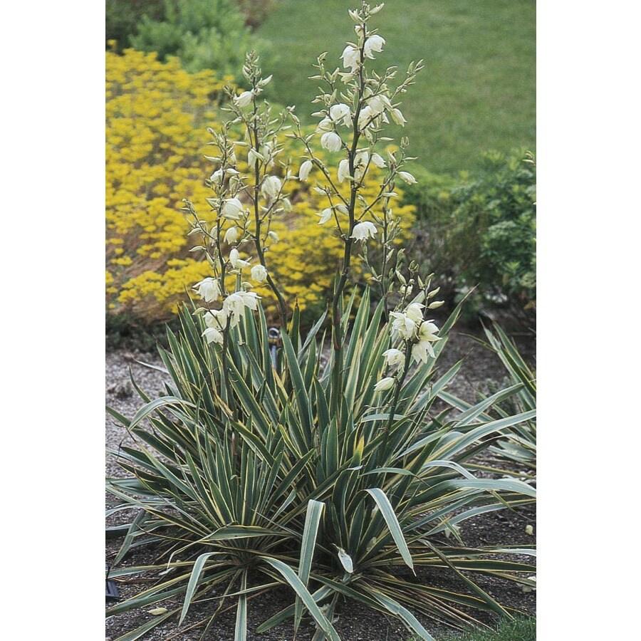 1-Gallon White Bright Edge Yucca Feature Shrub (L2622)
