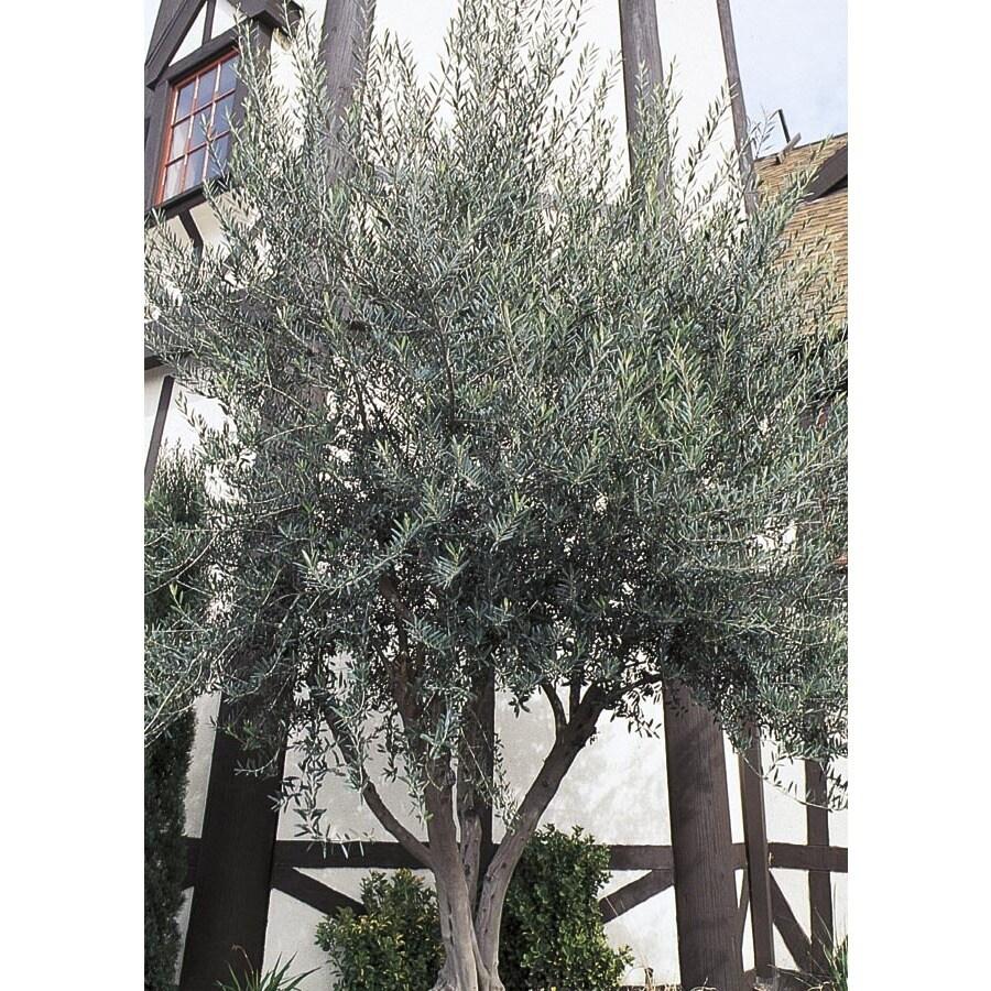 28.5-Gallon European Olive Feature Tree (L14921)