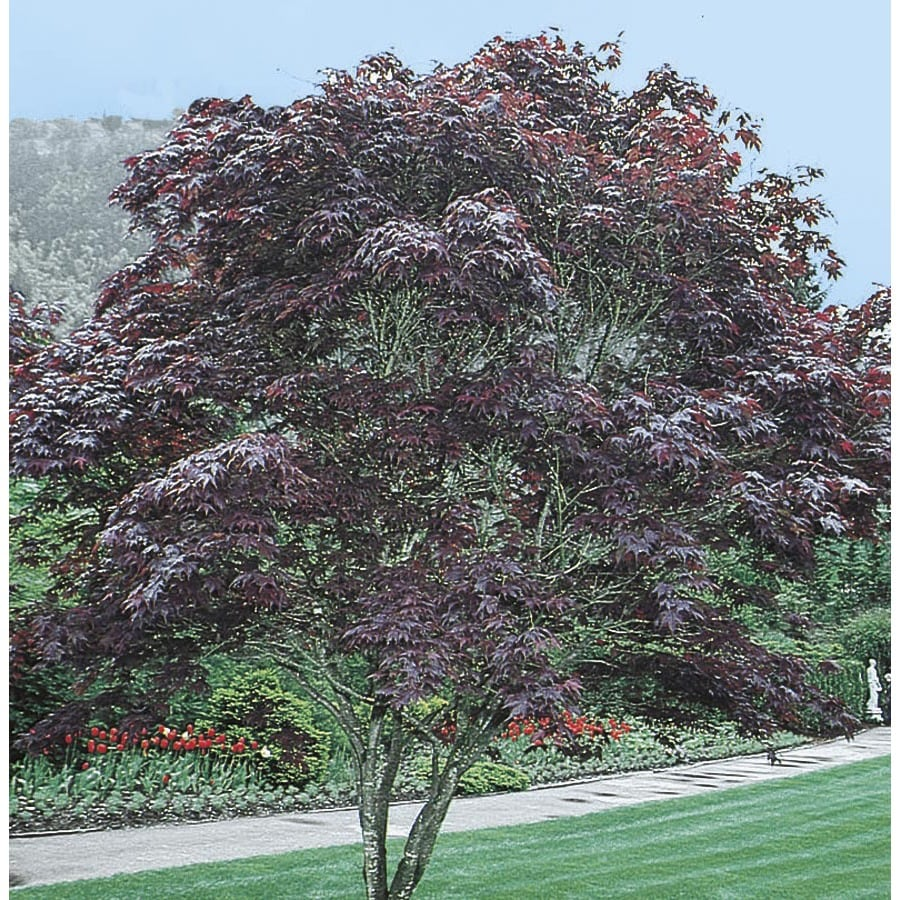 24-in Bloodgood Japanese Maple Feature Tree (L1088)