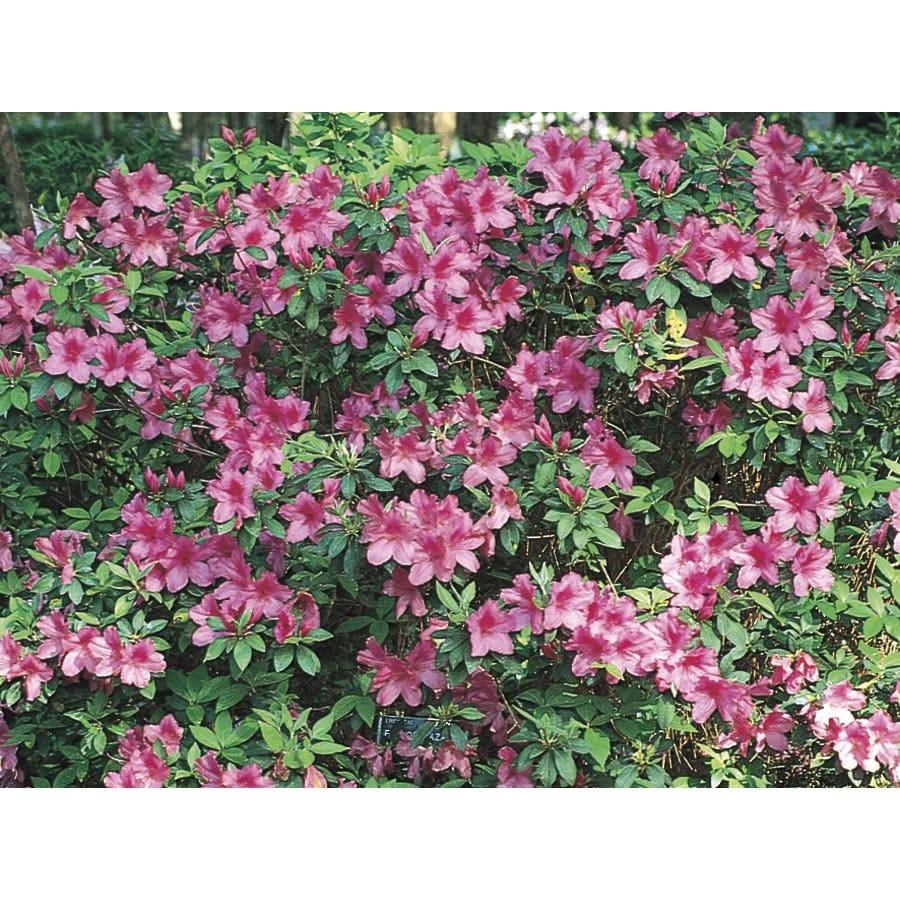 3-Gallon Purple Formosa Azalea Flowering Shrub (L5874)