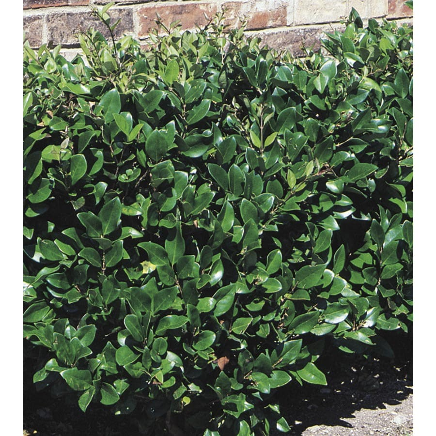 Shop 3 Gallon White Waxleaf Ligustrum Foundation Hedge