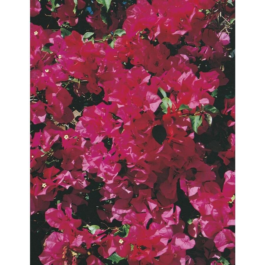 3-Gallon Red Barbara Karst Bougainvillea Flowering Shrub (L3144)