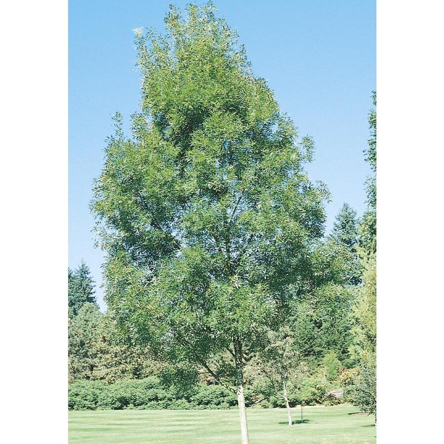 11.85-Gallon Raywood Ash Shade Tree (L3493)