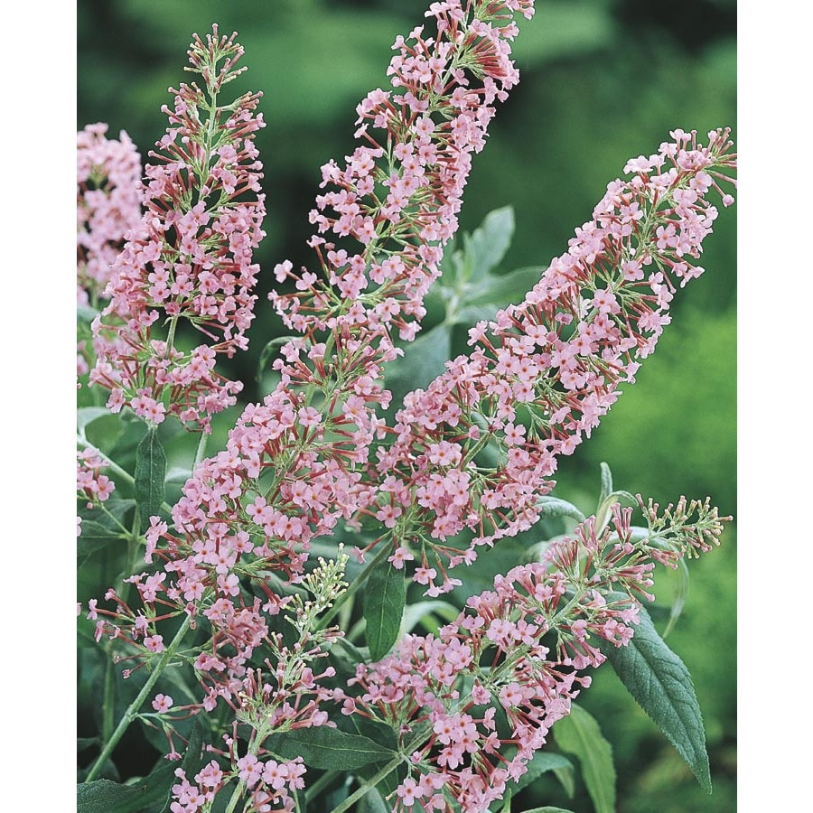 3-Gallon Pink Pink Delight Butterfly Bush Flowering Shrub (L14168)