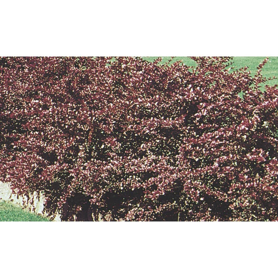 3.75-Gallon Red Leaf Barberry Accent Shrub (L7475)