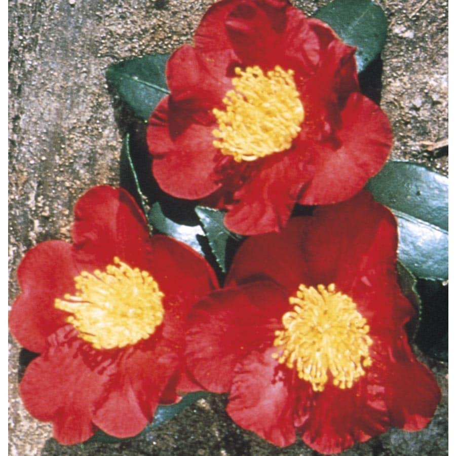 3-Gallon Red Yuletide Camellia Flowering Shrub (L3388)