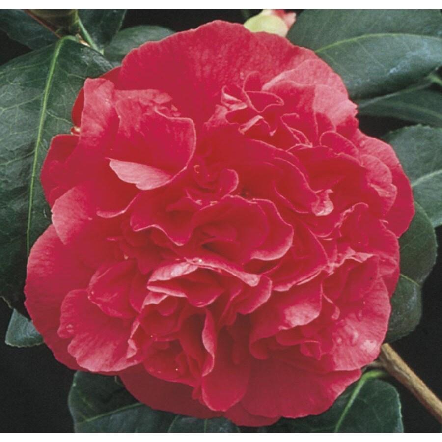 3-Gallon Red Kramer's Supreme Camellia Flowering Shrub (L9539)