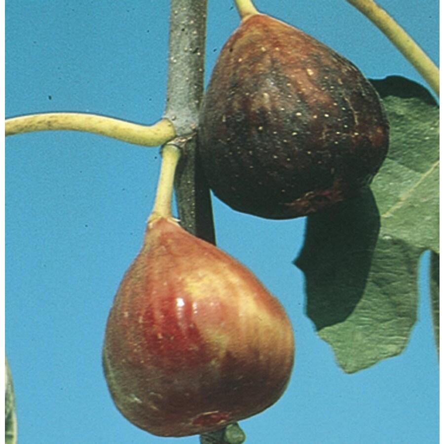 3-Gallon Fig Small Fruit (L5982)