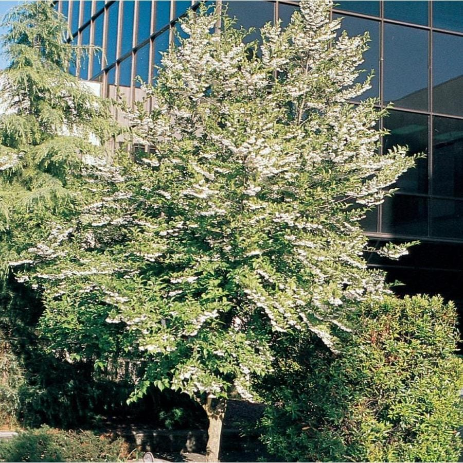 3.25-Gallon Japanese Snowbell Flowering Tree (L14275)