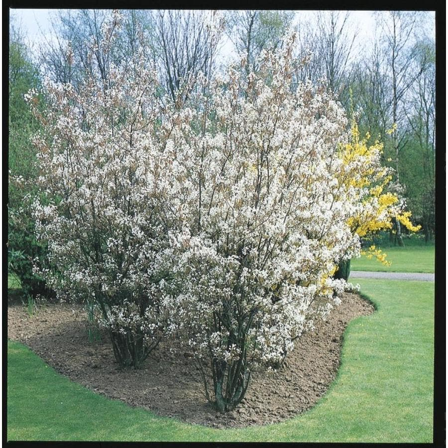 2.25-Gallon Traditional Serviceberry Flowering Tree (L6599)