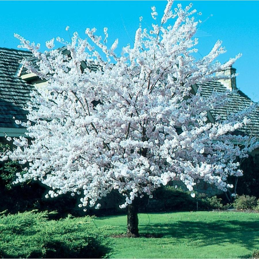 5.5-Gallon Autumnalis Flowering Cherry Flowering Tree (L6712)