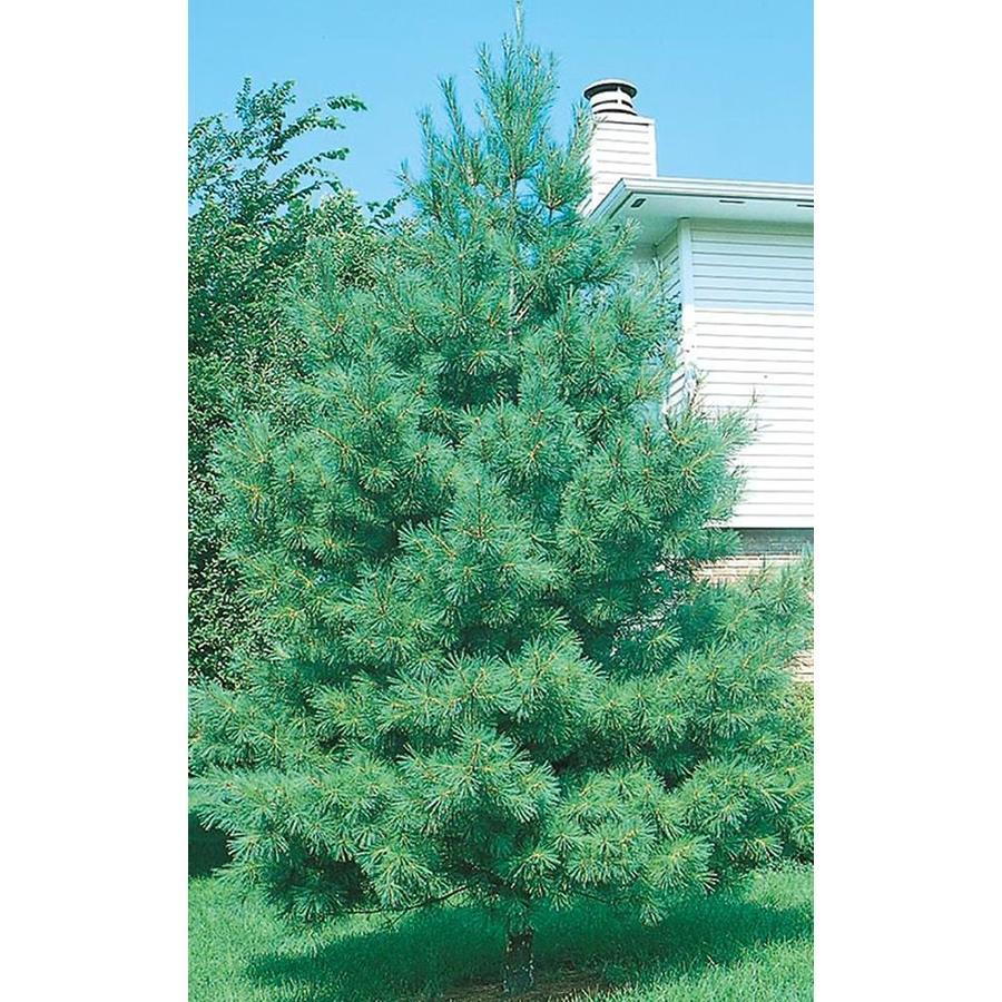 10.25-Gallon Eastern White Pine Screening Tree (L3619)