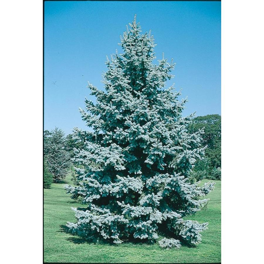12.33-Gallon Colorado Blue Spruce Feature Tree (L3937)