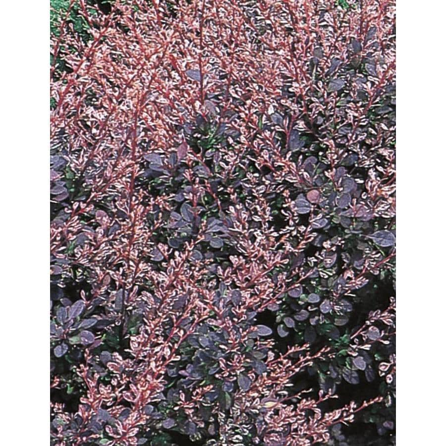 2.58-Gallon Rose Glow Barberry Accent Shrub (L3442)