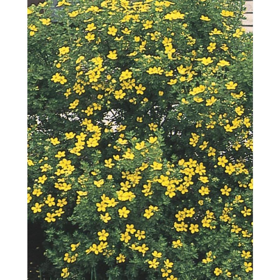 2.58-Gallon Yellow Potentilla Flowering Shrub (L3942)