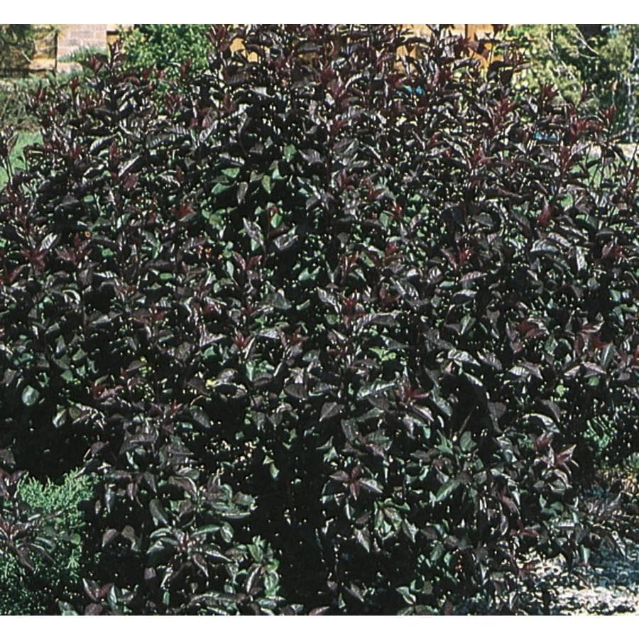 2.58-Gallon Pink Sand Cherry Feature Shrub (L9311)