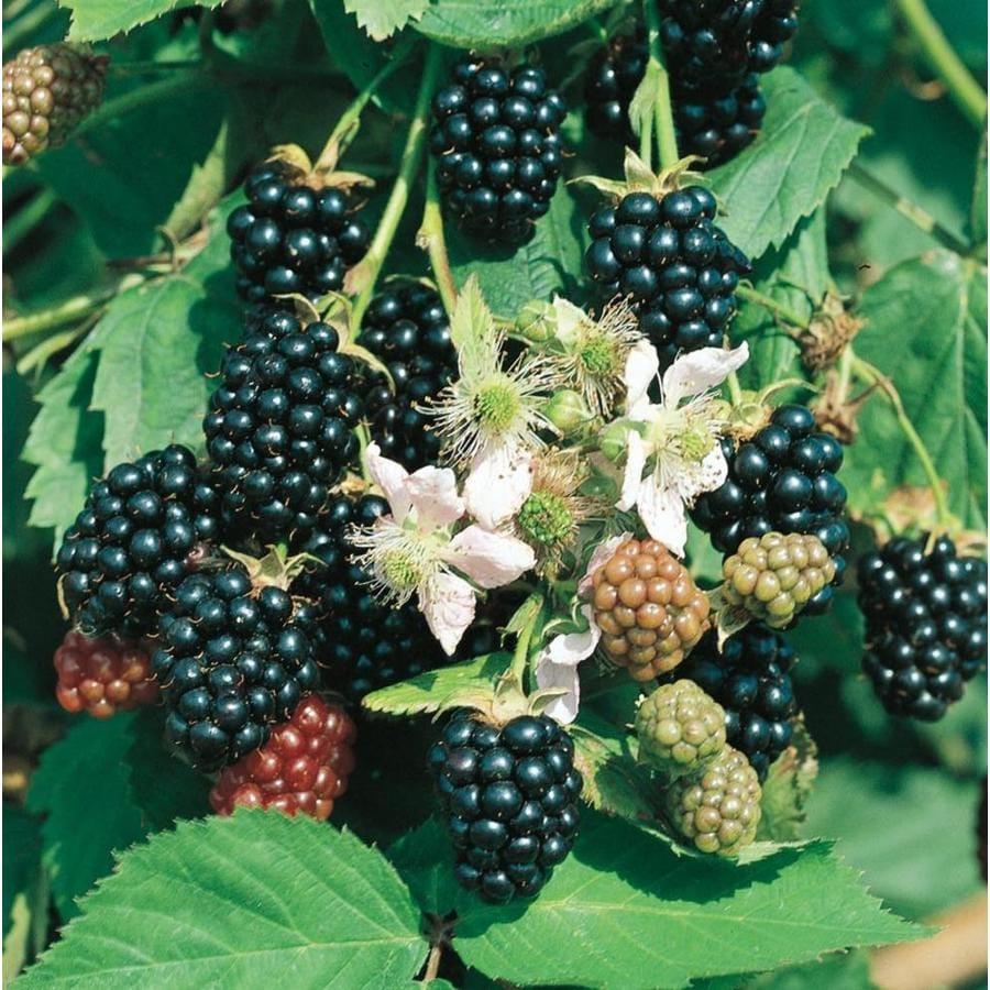 2.87-Quart Blackberry Small Fruit (L5825)