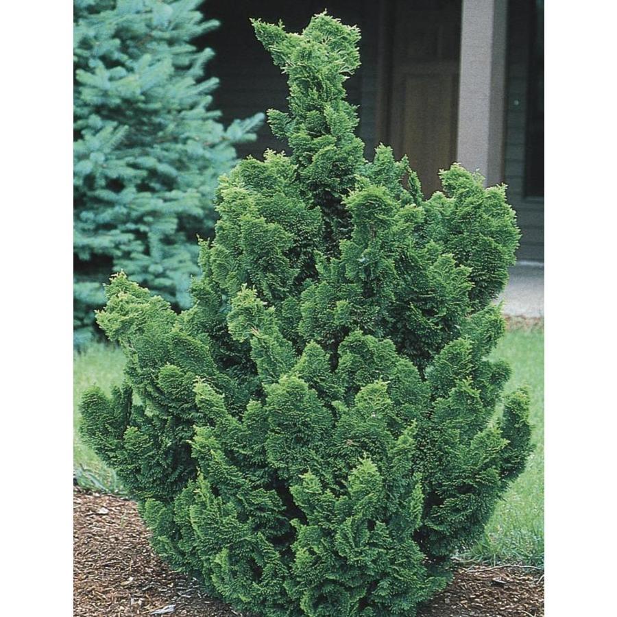 2-Quart Hinoki False Cypress Feature Tree (LW02477)