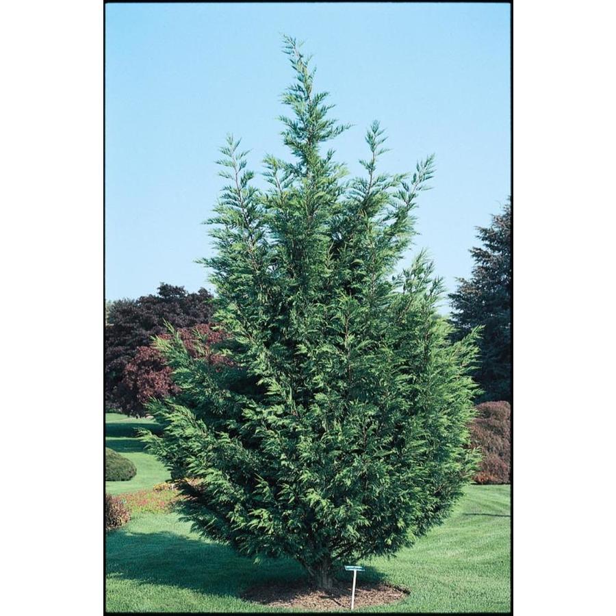 2.87-Quart Leyland Cypress Screening Tree (L3153)