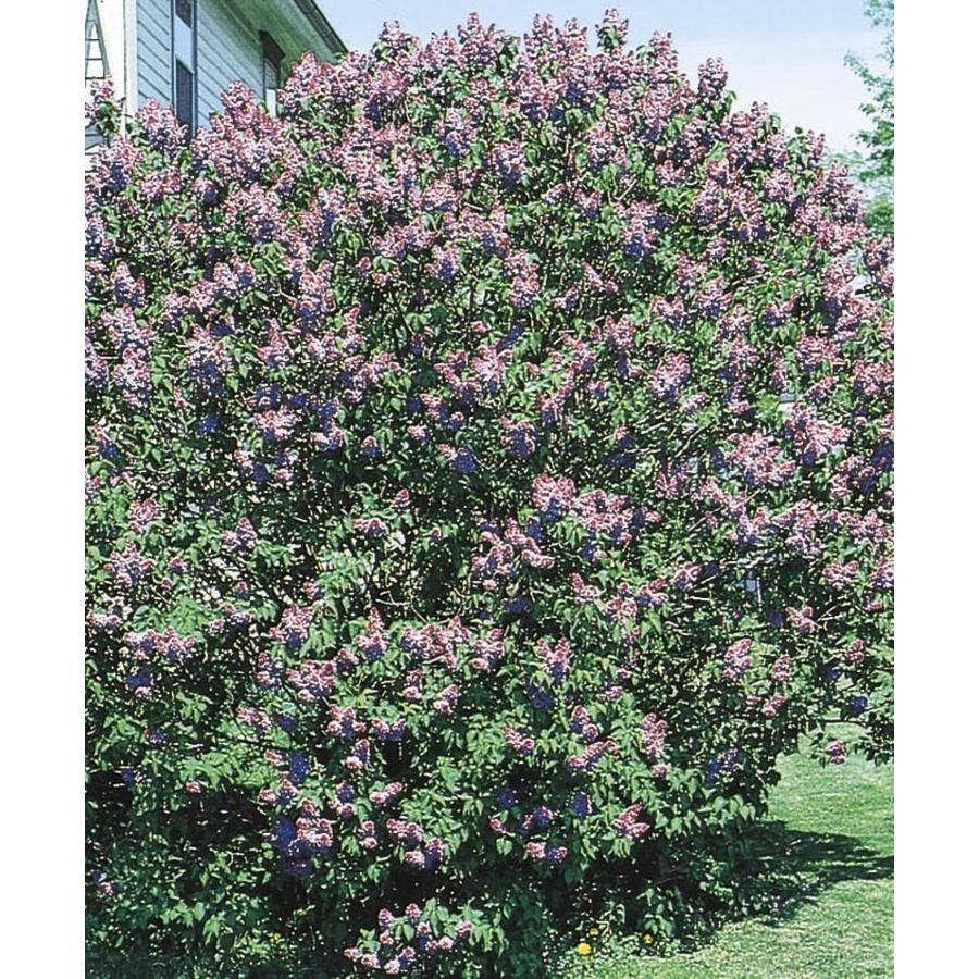 2.87-Quart Purple Old Fashioned Purple Lilac Flowering Shrub (L7783)