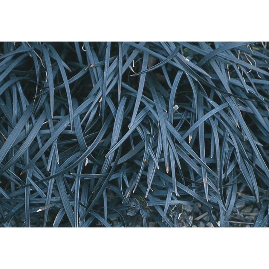 2.87-Quart Black Mondo Grass (L16144)