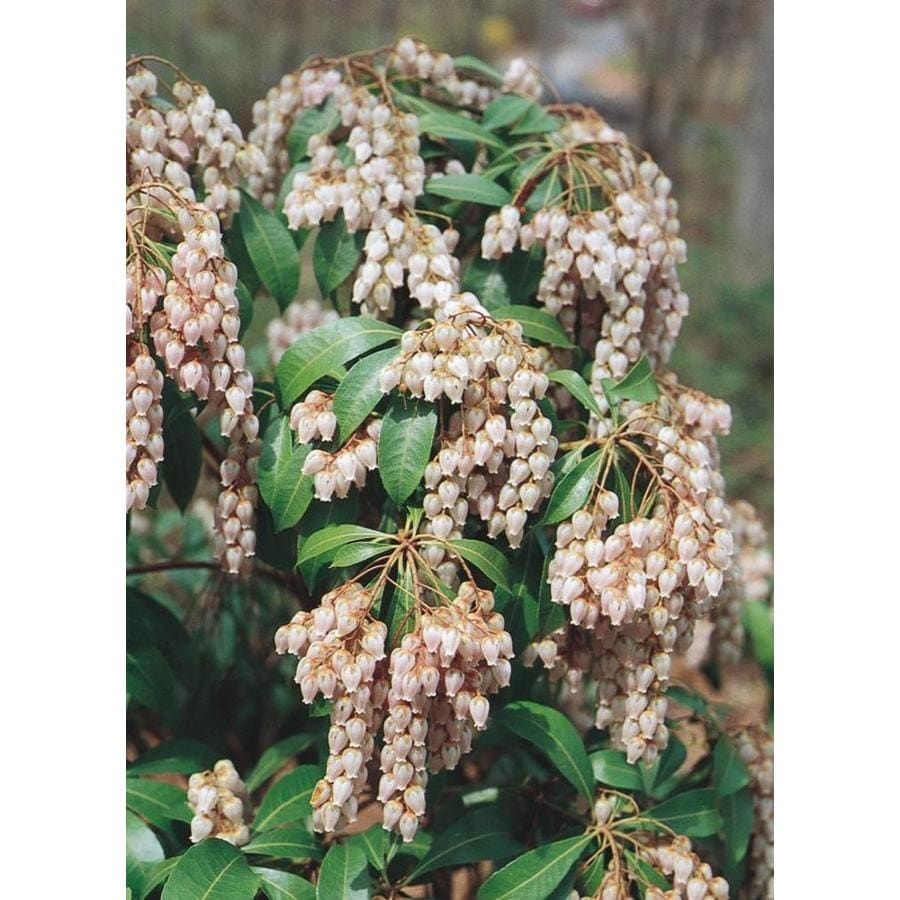 2.87-Quart Mixed Japanese Pieris Flowering Shrub (L5402)