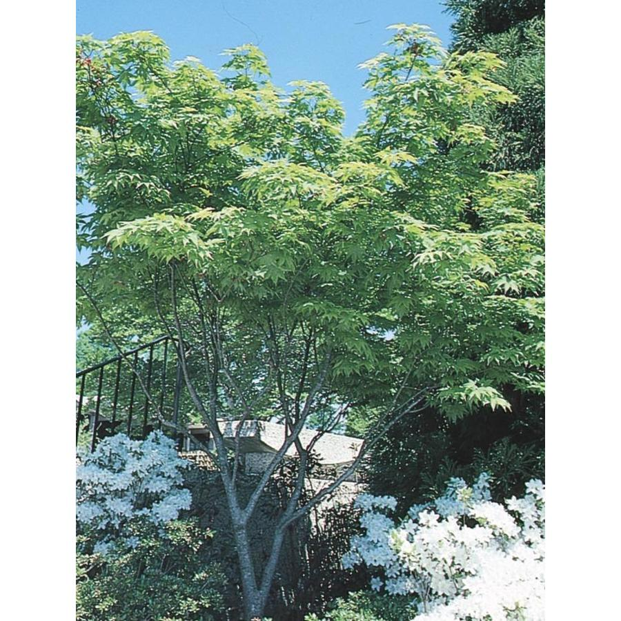 7.15-Gallon Japanese Maple Feature Tree (L4163)