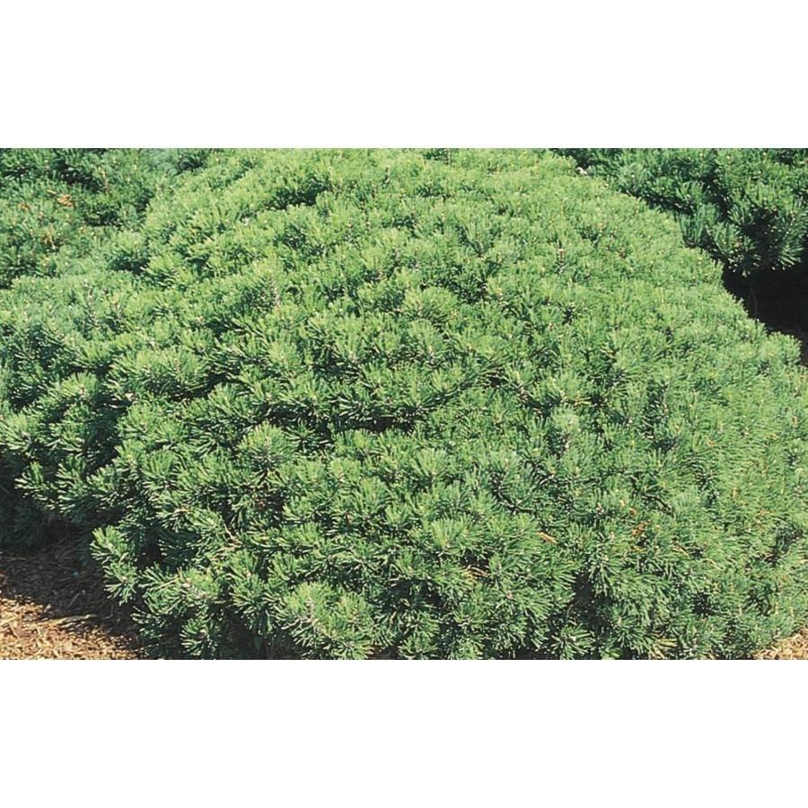 7.15-Gallon Dwarf Mugo Pine Feature Shrub (L4809)