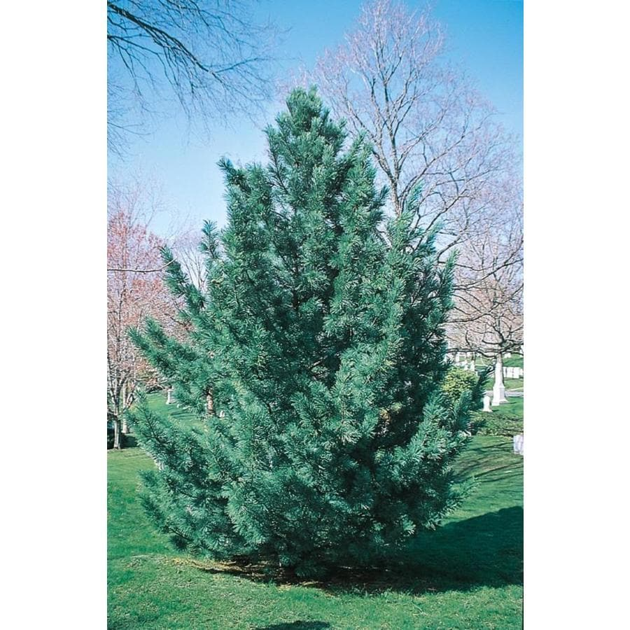 7.15-Gallon Vanderwulf's Pyramid Limber Pine Feature Tree (L6874)