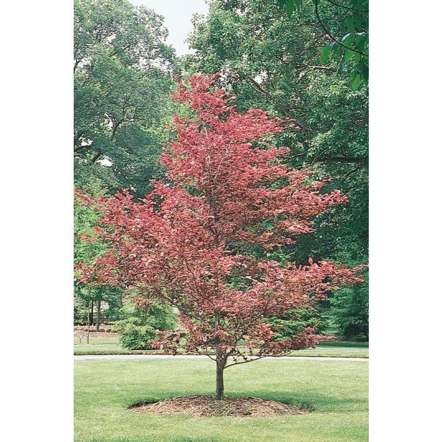 3.58-Gallon Tricolor Beech Feature Tree (L7232)