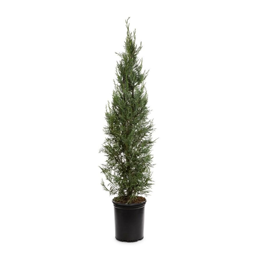3.58-Gallon Leyland Cypress Screening Tree (L3153)