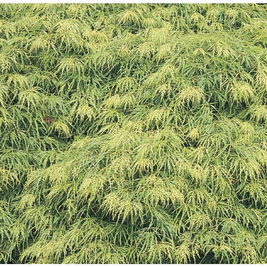 3.58-Gallon Laceleaf Japanese Maple Feature Tree (L11472)