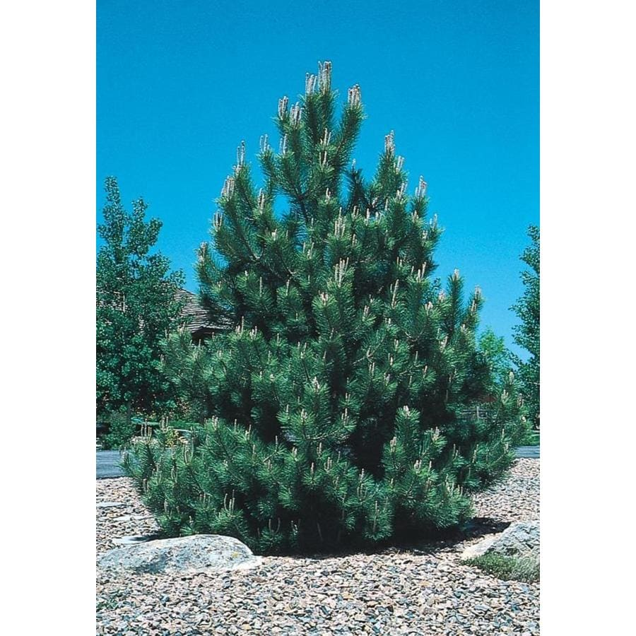3.58-Gallon Austrian Black Pine Feature Tree (L3618)
