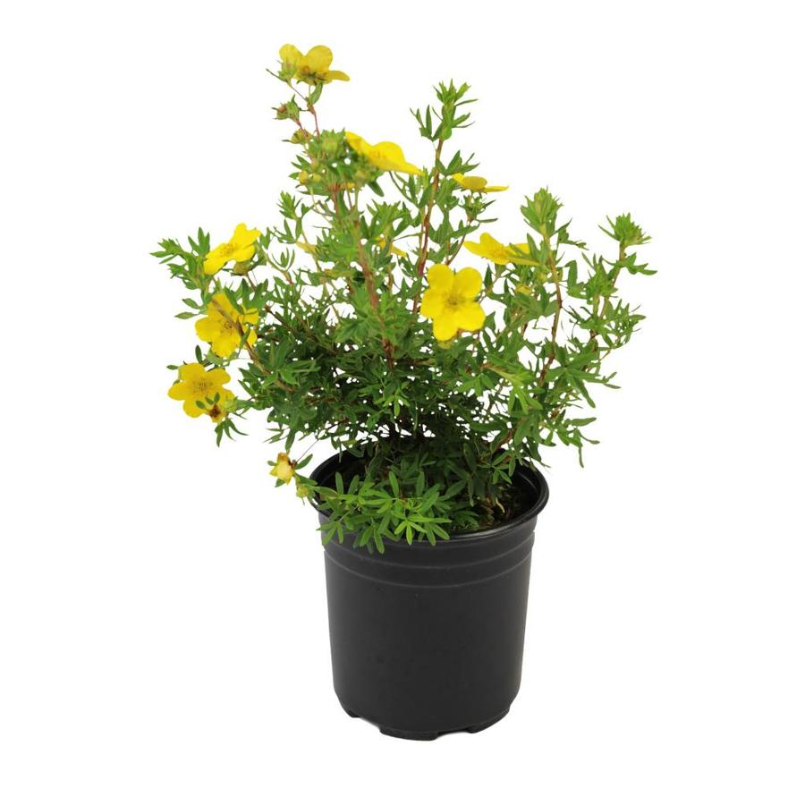 3.58-Gallon Yellow Potentilla Flowering Shrub (L3942)