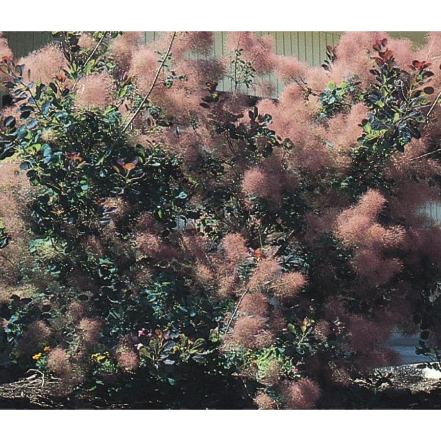 3.58-Gallon Pink Smoke Tree Feature Shrub (L4697)
