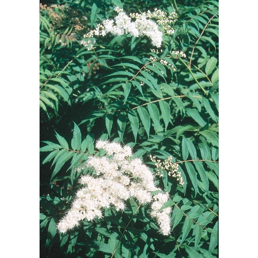 3.58-Gallon White False Spirea Flowering Shrub (L17071)